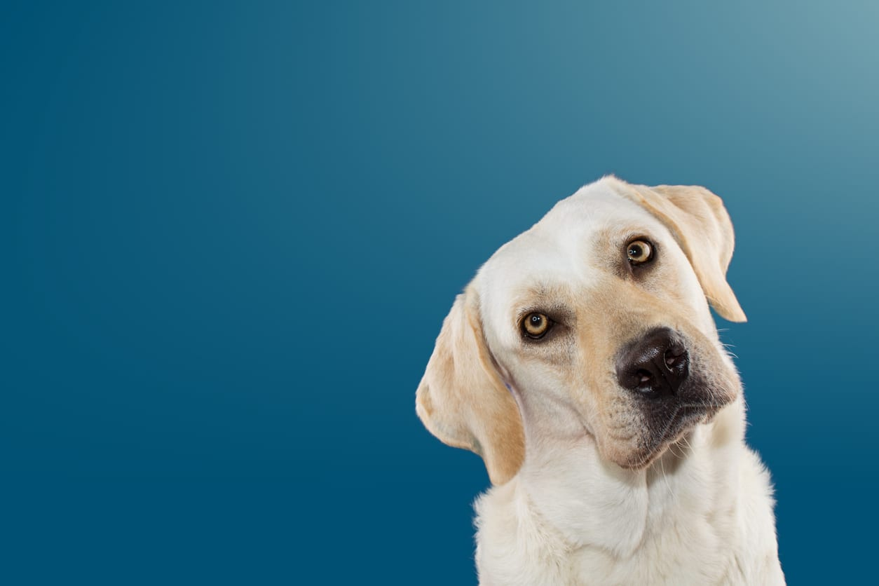 DOG THINKING AND TILTING THE HEAD SIDE AND LOOKING AT CAMERA. ISOLATED AGAINST BLUE COLORED BACKGROUND.